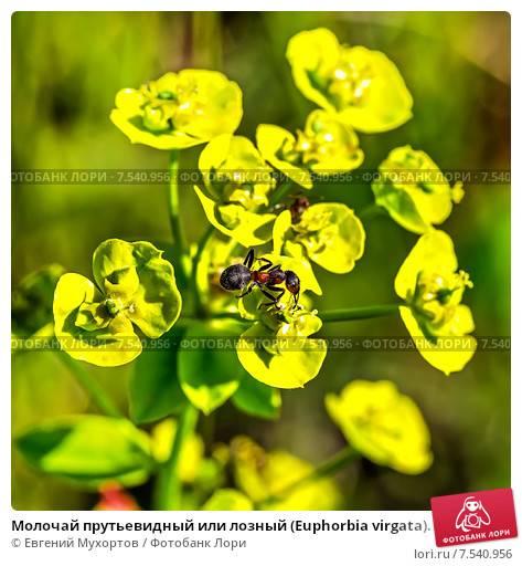 Цветок молочай комнатный, уход, фото видов, выращивание из семян и черенков