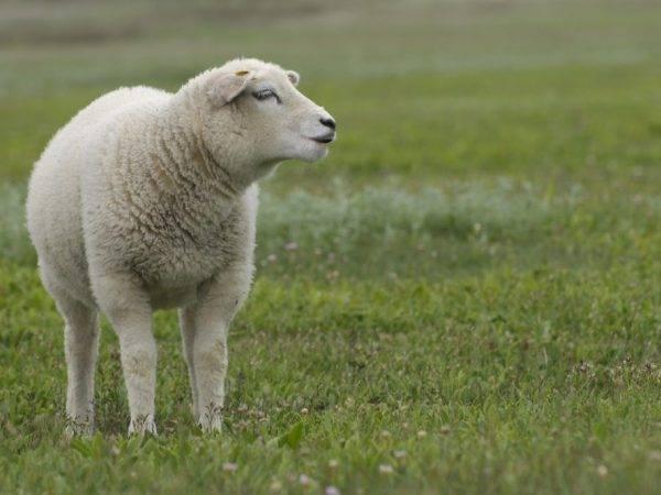 Овцы породы тексель — чем они хороши?