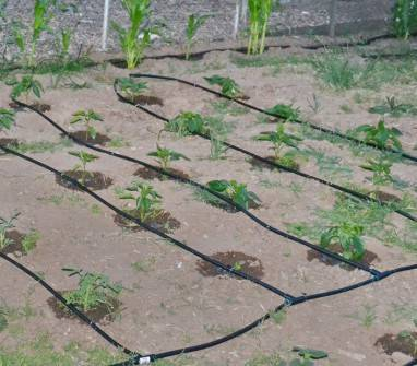 Томат хуго: характеристика и описание сорта, его урожайность с фото