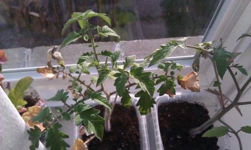 Почему желтеют листья у помидор и что с этим делать?