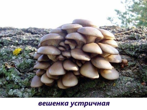 Грибы растущие на пнях: + 41 фото, описание, съедобность и названия