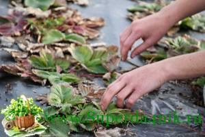 Как подготовить клубнику к зиме: основные приемы и правила