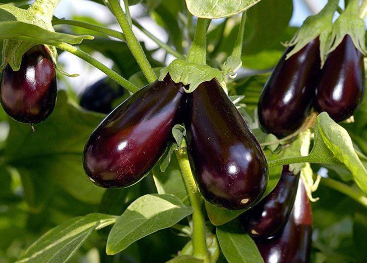 Баклажаны: польза и вред. витамины, калорийность, рецепты