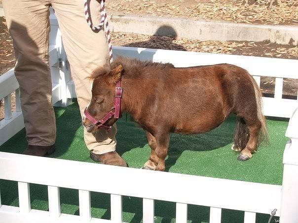 ✅ о мини лошадях: самые маленькие лошадки, миниатюрные породы мира - tehnomir32.ru