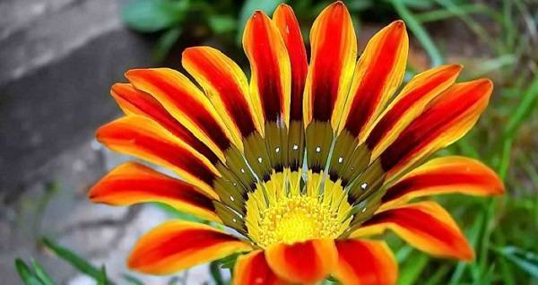 Цветок гацания: выращивание из семян, фото