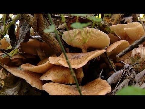 Опята в краснодарском крае: фото, где растут грибы и когда их собирать