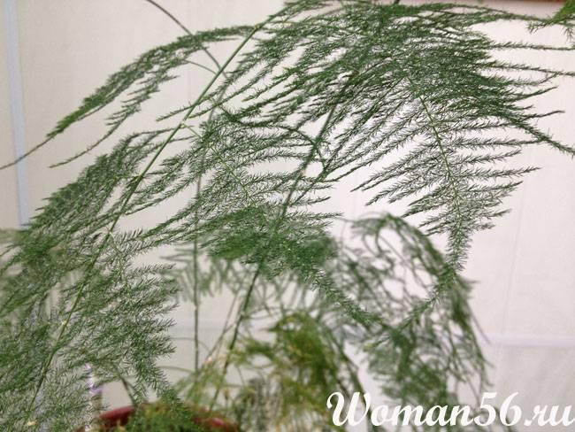 Удивительно похожий на папоротник перистый аспарагус: полное описание, фото и уход в домашних условиях