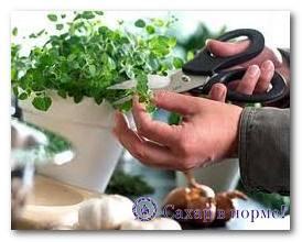 Стевия в домашних условиях - выращивание из семян, уход, как выглядит растение, размножение и болезни