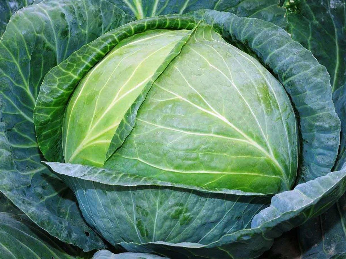 Почему у капусты фиолетовые листья, как вылечить капустный лист