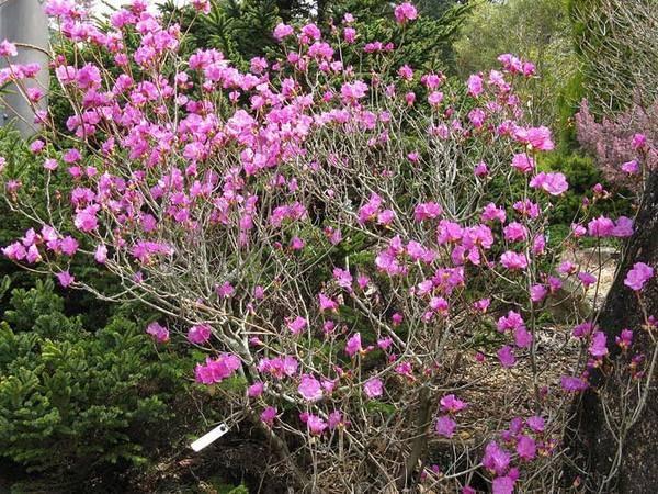 Рододендрон: посадка и уход в открытом грунте, виды и сорта, фото
