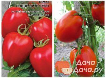 Томат сибирское чудо: описание сорта, как выращивать, фото русский фермер