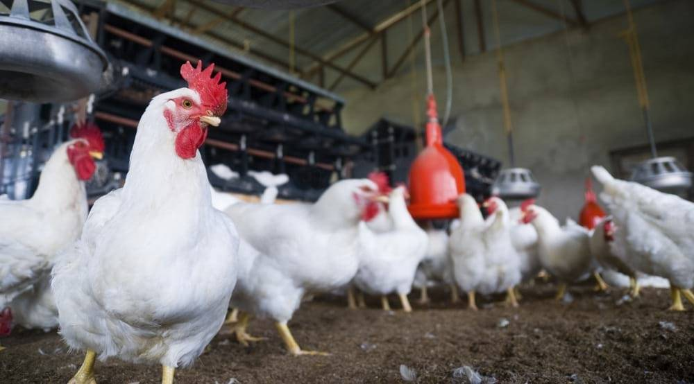 Цыплята бройлеры росс 308: описание породы, фото и отзывы :: syl.ru