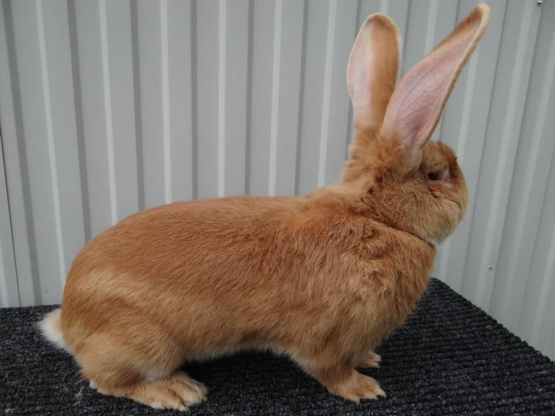 Породы кроликов: с названиями и описанием, виды, фото