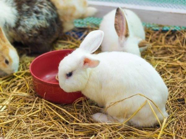 Случка крольчихи после окрола: сроки, промышленная и стандартная технологии