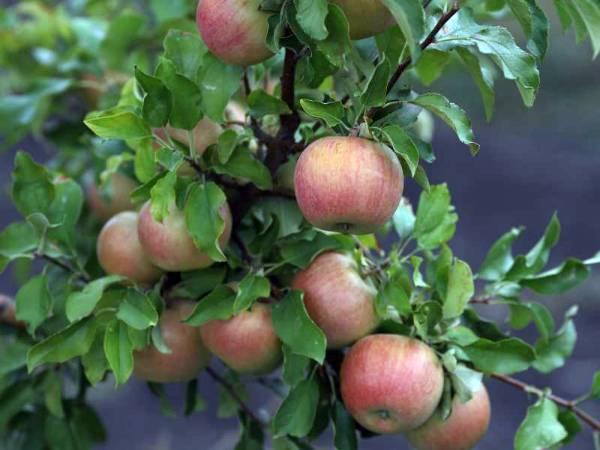 Яблоня бельфлер китайка