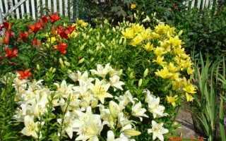 Лилии — выбор места и посадка в саду