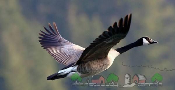 Описание гусей породы канадская казарка
