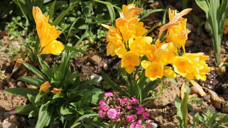 Цветок фрезия: фото, посадка и уход в домашних условиях
