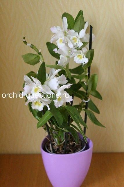 Как поливать дендробиум нобиле зимой, во время цветения, после пересадки