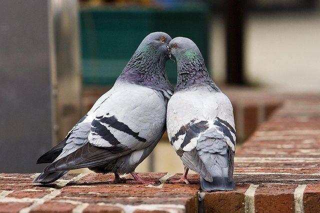 Разведение голубей: способ содержания в домашних условиях, размножение