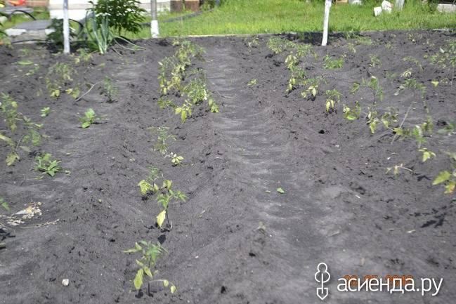 В открытом грунте окучивают помидоры | вырасти сад!