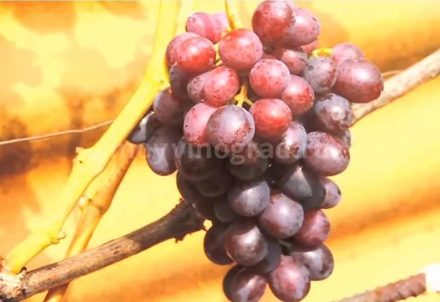 Черный жемчуг — сорт винограда