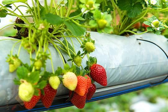 Выращиваем клубнику дома на подоконнике круглый год