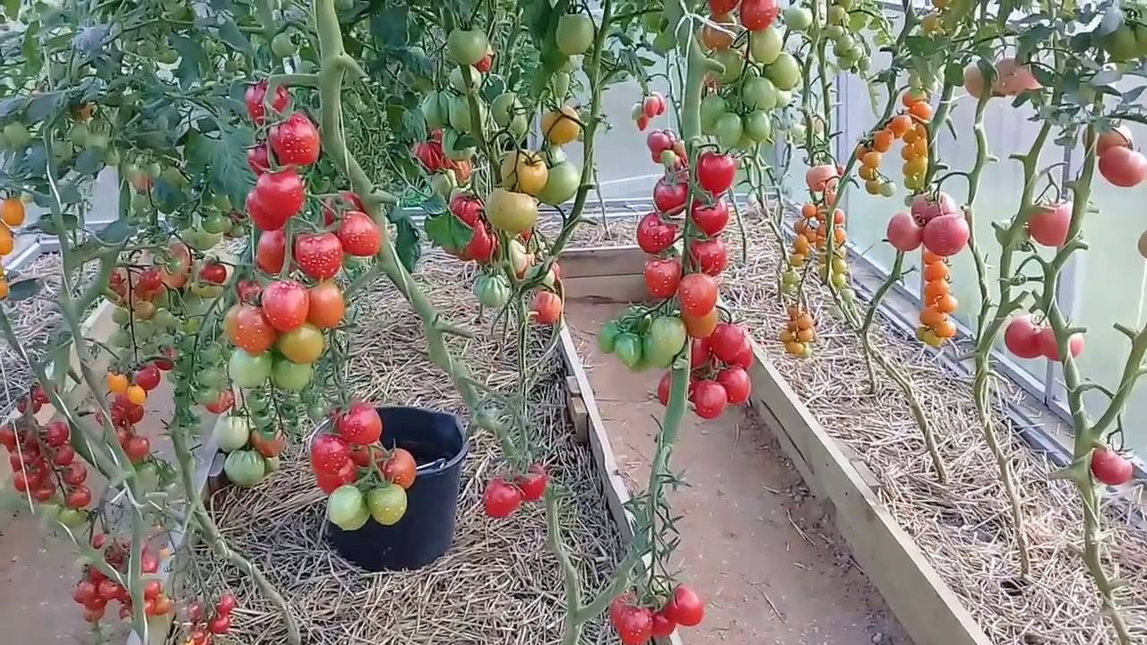 Характеристика томатов черри ира f1 - журнал садовода ryazanameli.ru