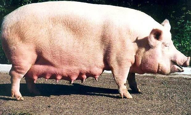 Календарь опороса свиноматки: определение сроков