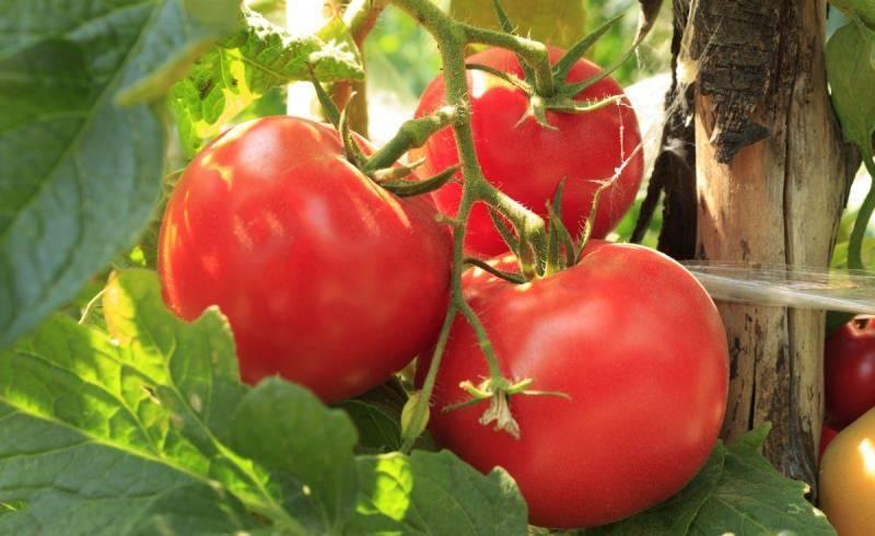 Как правильно выращивать помидоры пинк парадайз - сад и огород