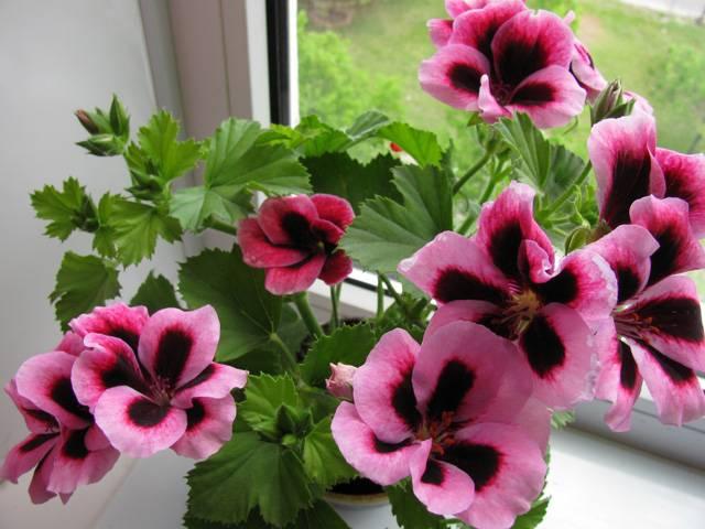 Пеларгония из семян в домашних условиях: сорта, технология посева, уход