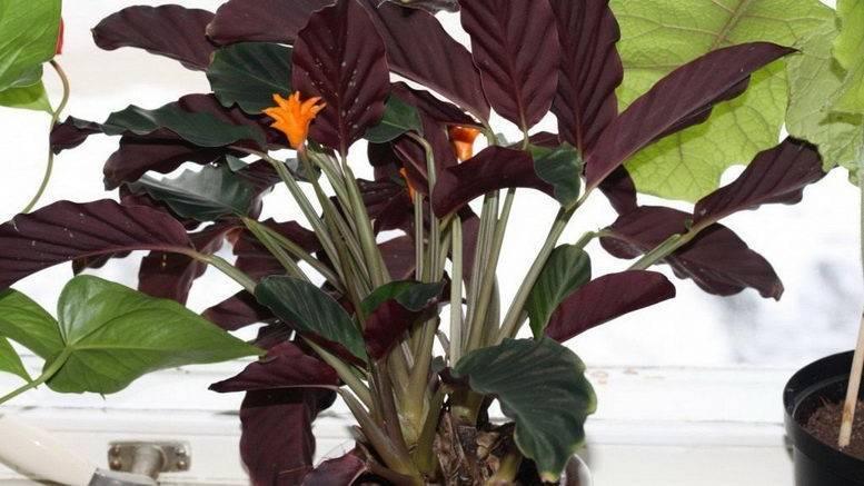 Калатея: уход в домашних условиях. виды цветка с названиями и фото