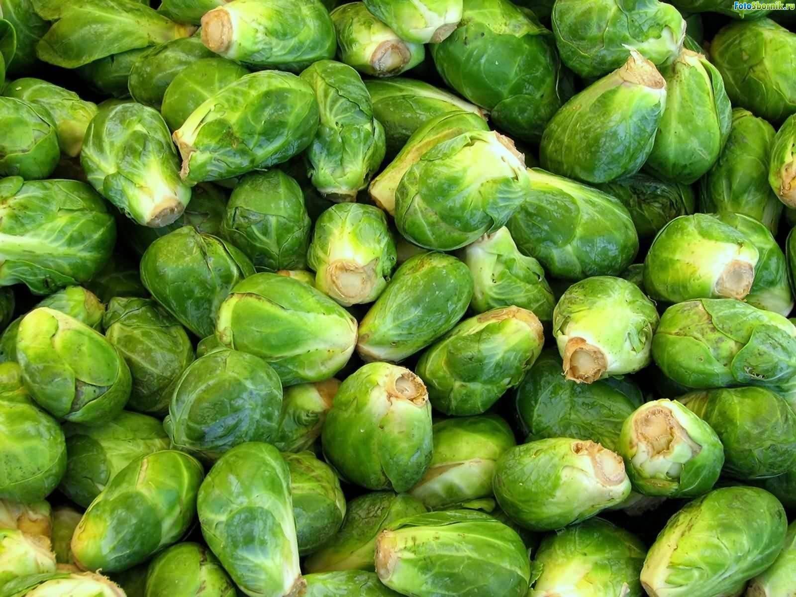 Брюссельская капуста: выращивание и уход в открытом грунте, фото, видео