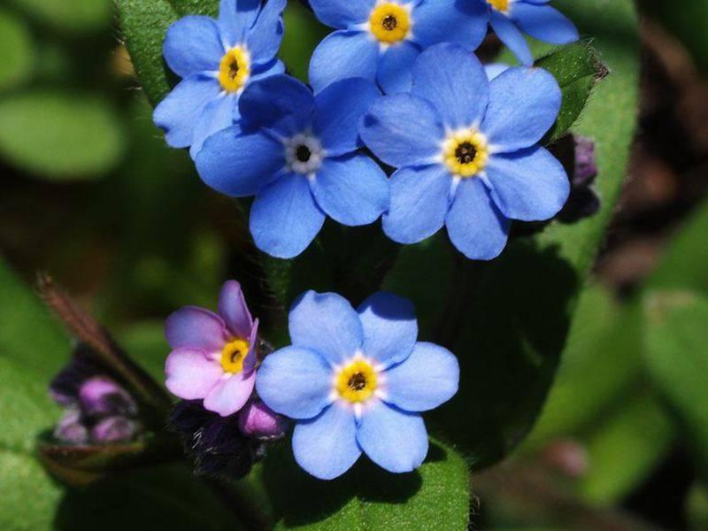 Описание цветка незабудка, виды растения, а также рекомендации по выращиванию в саду
