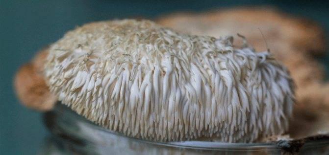 Гриб ежовик желтый - фото, описание, польза т вред