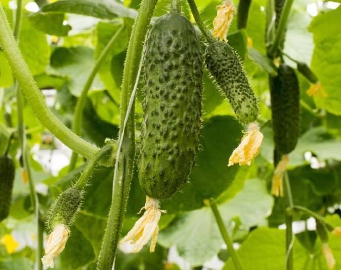 Огурец берендей f1 — описание и характеристика сорта