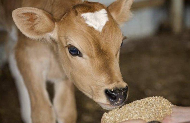 Комбикорм для телят и коров
