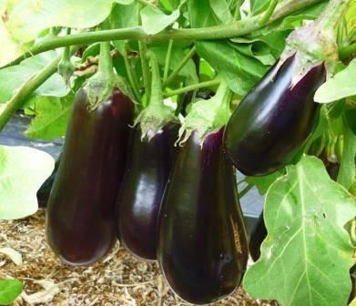 Посадка баклажанов в открытый грунт: проращивание и замачивание семян перед посевом, через сколько дней появятся всходы