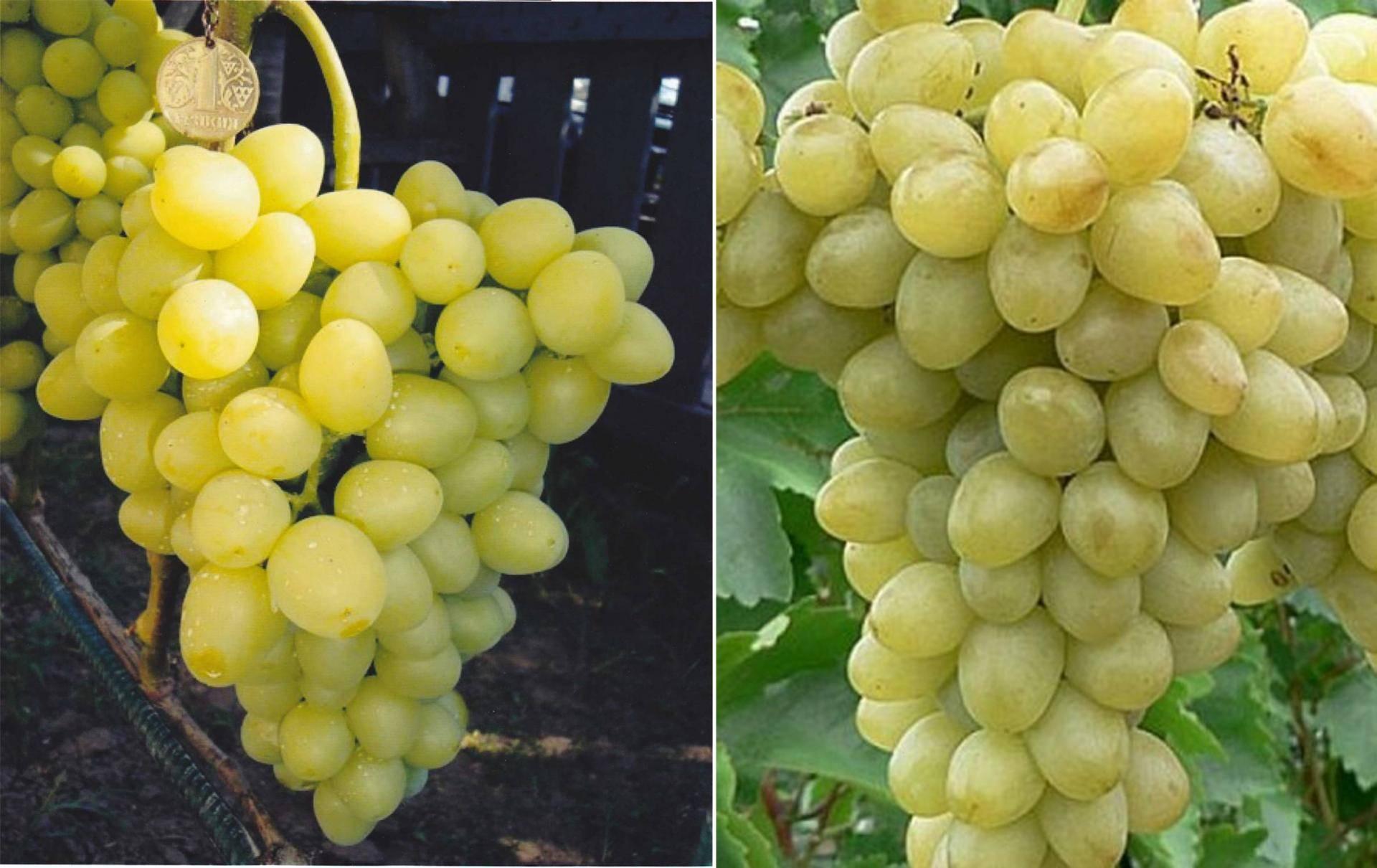 """Виноград """"надежда аксайская"""": описание сорта, фото, как бороться с вредителями?"""