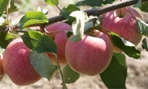 Яблоня сладкая нега 1-летка tim