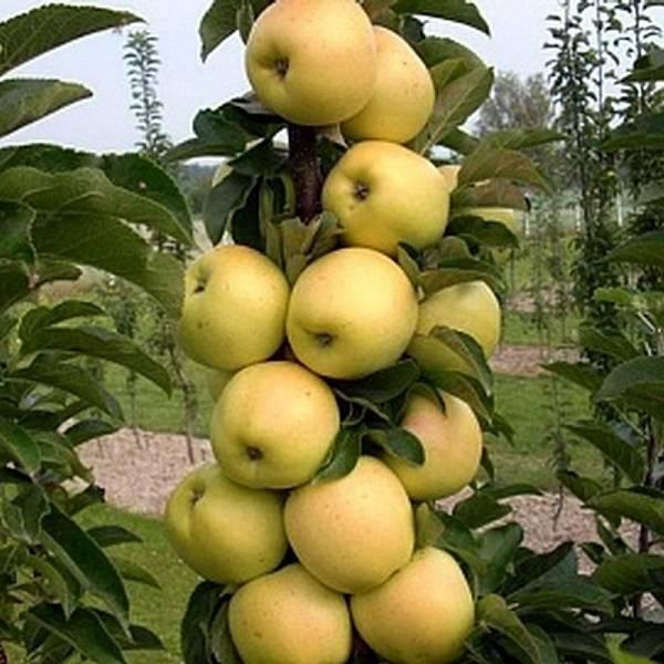 Лучшие сорта яблонь для ленинградской области с описанием и фото