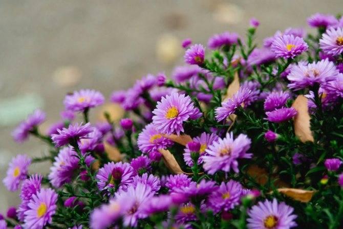 Цветы сентябринки (астра виргинская) – видовое разнообразие, особенности посадки и ухода