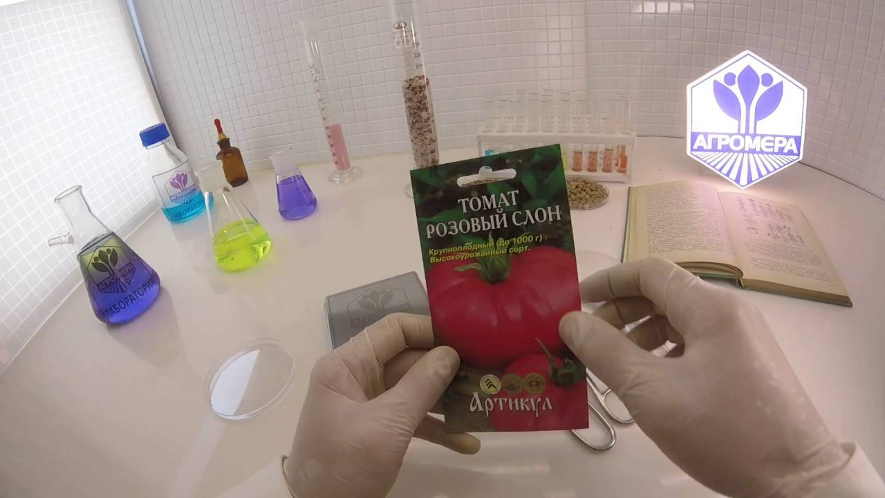 Сорт розовый слон – выбор тех, кто любит крупноплодные помидоры