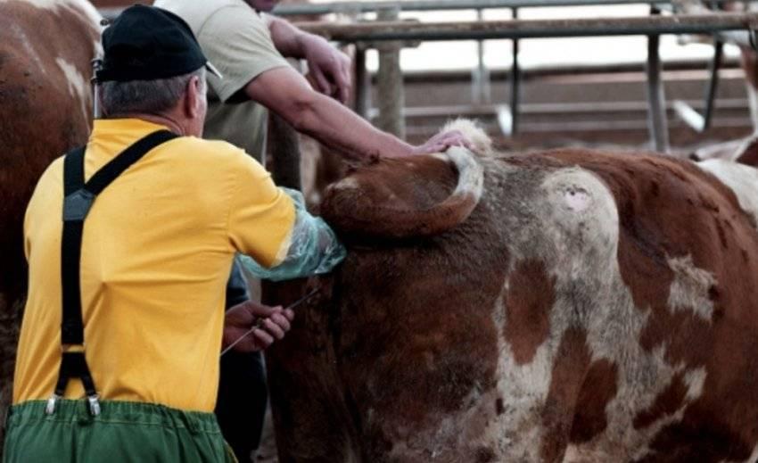 Сколько ходит беременная корова