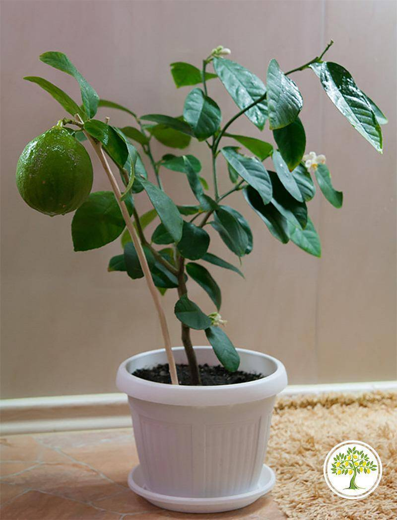 Лимон ташкентский: описание сорта, уход в домашних условиях