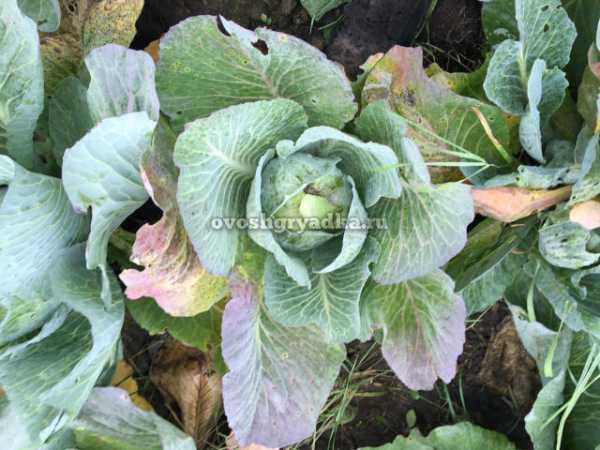 У капусты фиолетовые листья: что делать и в чем причина