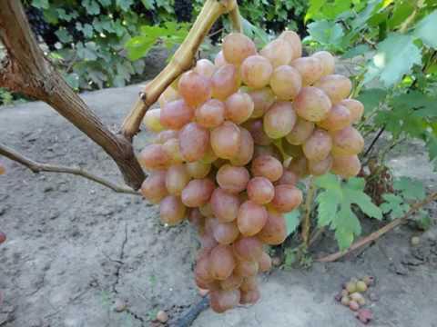 Бескосточковые сорта винограда в украине: описание, фото, купить саженцы - vinograd-loza
