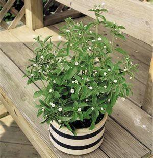 Как вырастить полезную стевию на своем участке и дома в горшке?