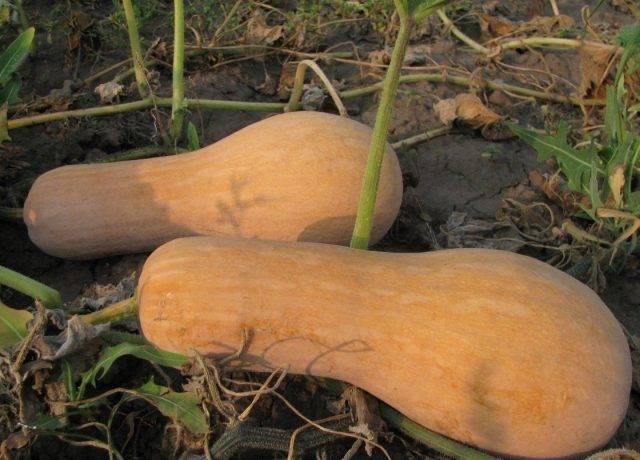 Тыква гитара: описание сорта, выращивание и уход, отзывы
