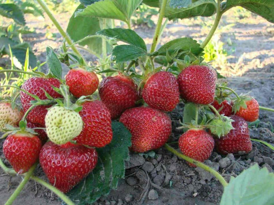 Клубника виктория: описание и особенности выращивания сорта, отзывы садоводов + чем отличается от садовой земляники